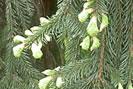 Pine tree bud syrup